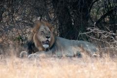 Kruger Park, 2018, leeuwen