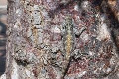 Zuid-Afrika, salamander op boom, schutkleur, Kruger National Park,