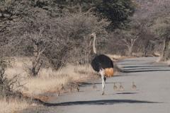 Struisvogel met kleintjes, Kruger National Park, Zuid-Afrika, 2018, foto Colin van de Meeberg