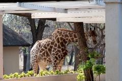 droogte, giraffen komen groene blaadjes eten op het erf, Mogalakwena, Limpopo, Zuid-Afrika, foto Colin van de Meeberg, 2018