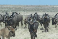 Wildebeesten, Etosha National Park, Namibië, 2018, iZArte Kunstreis