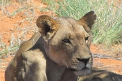 Leeuw, Kalahari National Park, !Xaus Lodge, Zuid-Afrika